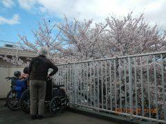 春には園全体を桜が包みます。