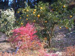 園内、夏みかんの木があり食せます。