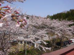 そろそろ見ごろ 桜(サクラ)咲く
