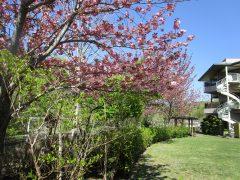 八重桜が満開なお庭です。